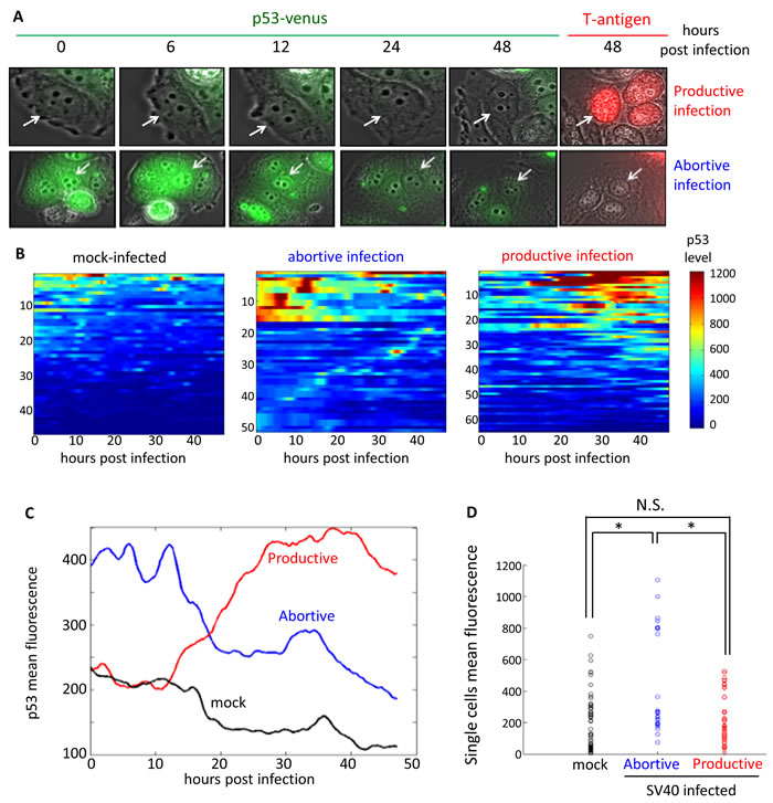 Dynamics of p53 in single cells following SV40 infection.