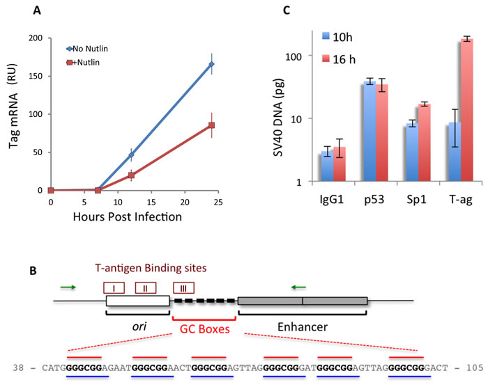 p53 binds to the SV40 early promoter, correlating with a decrease in T-ag mRNA.