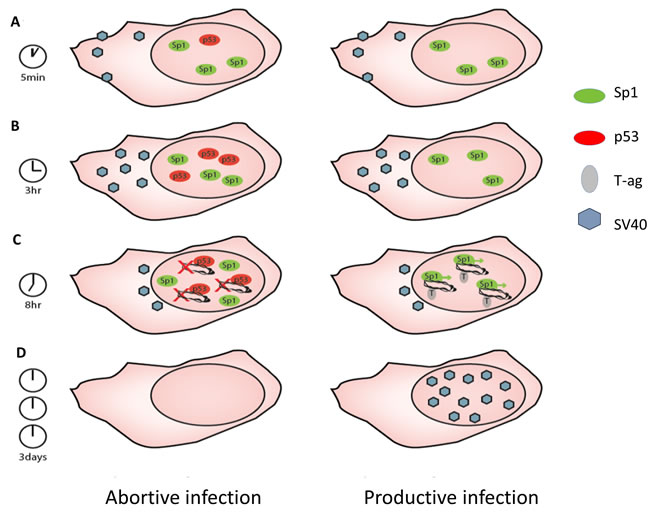 Model for the mechanism of p53 host defense against SV40 infection.