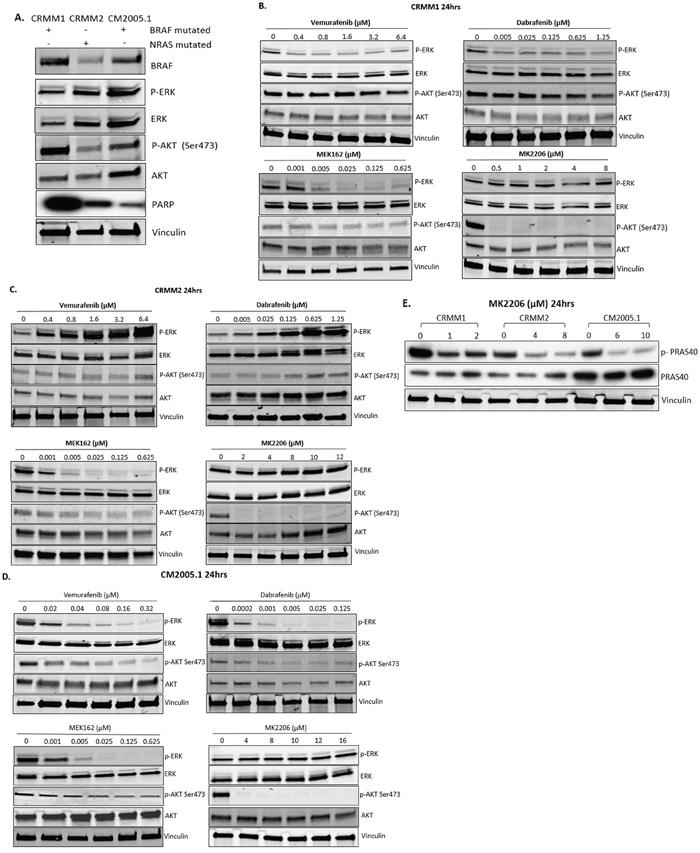 Effect of BRAFi, MEKi and AKTi treatment on ERK and AKT phosphorylation of CM cells.