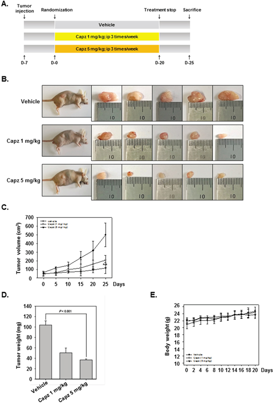 Antitumor effects of Capz in human prostate cancer xenograft mouse model.
