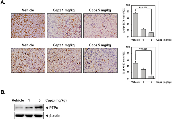 Capz reduces levels of oncogenic biomarkers in prostate tissues.