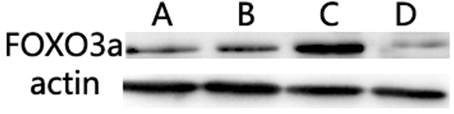 Evaluation of miR-155 target proteins.