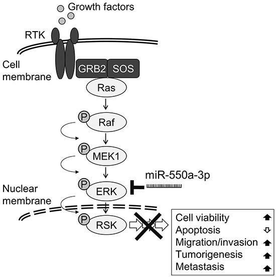 Schematic diagram of miR-550a-3p inhibits Ras/ERK signaling pathway by directly targeting ERK1 and ERK2.