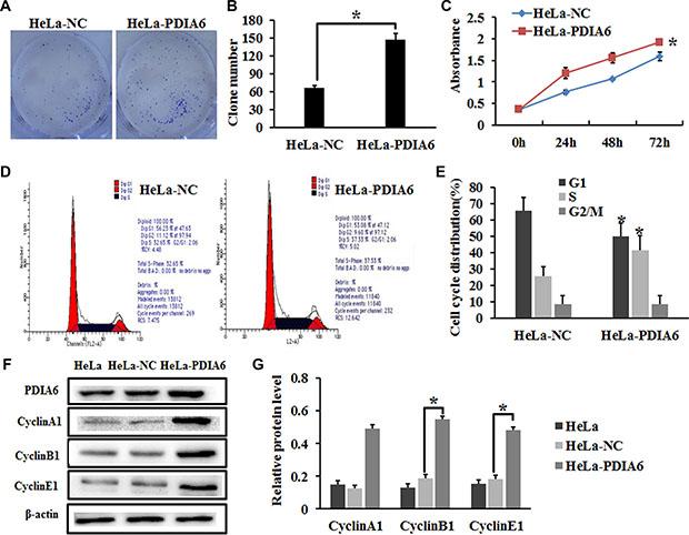 PDIA6 promotes the proliferation of HeLa cells.