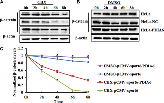 PDIA6 increases the stability of β-catenin in HeLa cells.