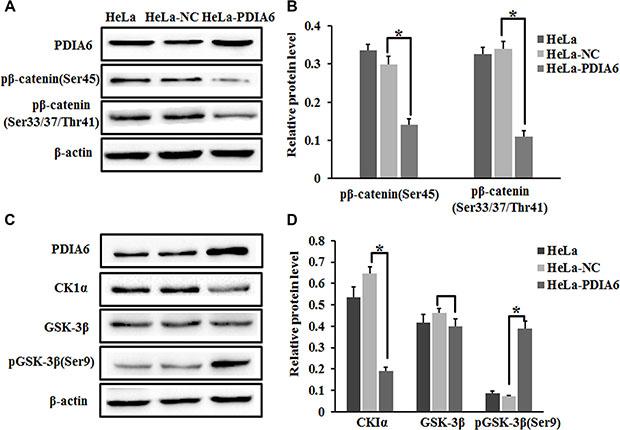 PDIA6 suppresses the phosphorylation of β-catenin.