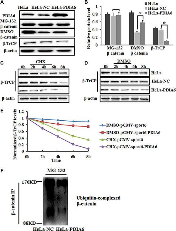 PDIA6 inhibits ubiquitination and proteasomal degradation of β-catenin.