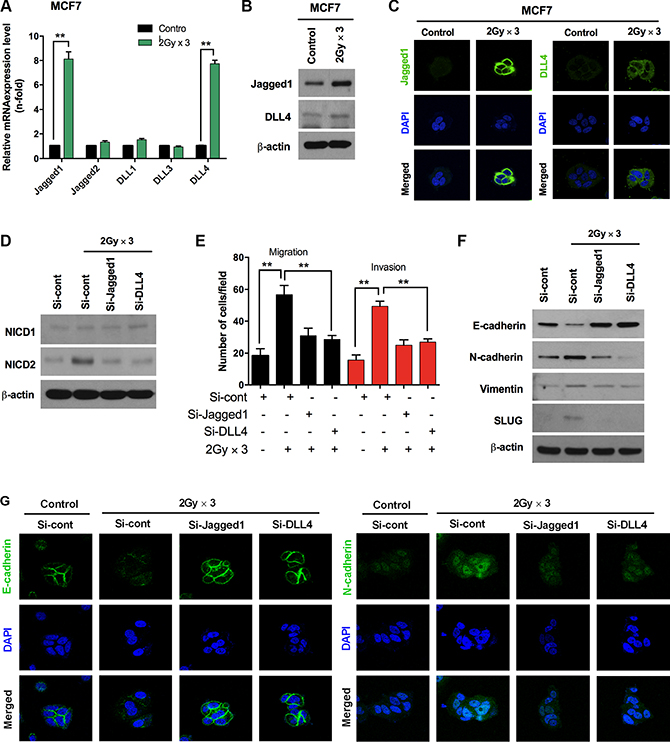 Fractionated radiation-induced Notch ligands promote EMT in breast cancer cells.