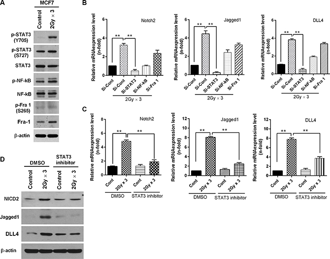 Fractionated radiation up-regulates Notch signaling through activation of STAT3.