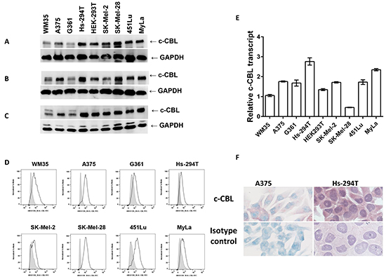 Melanoma cells exhibit c-CBL expression in cell lines.