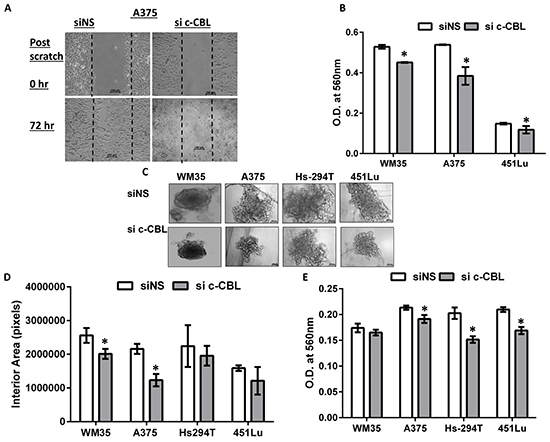Knockdown of c-CBL reduces migration, invasion and 3D spheroid proliferation and invasion.