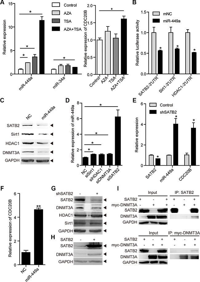 miR-449a is activated by epigenetic drugs and SATB2 knockdown.