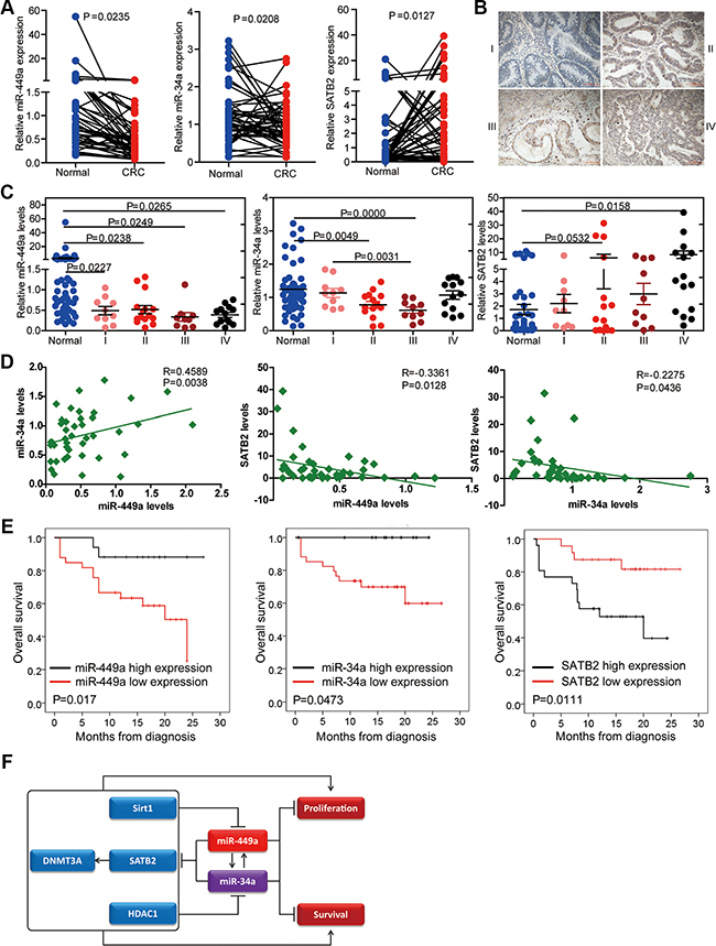 Relevance of the miR-34a/miR-449a-SATB2 pathway in human CRC development and progression.