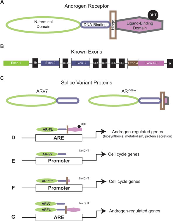 Androgen receptor and androgen receptor splice variant protein structure and activity.