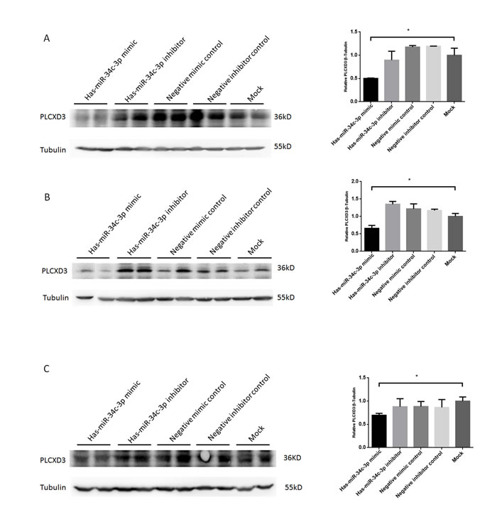 Verification of posttranscriptional repression of PLCXD3 by miR-34c-3p in multiple cell types.
