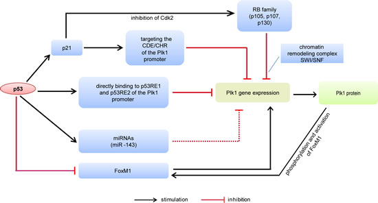 Figure 1:Schematic representation of the Plk1 gene expression controlled by p53.