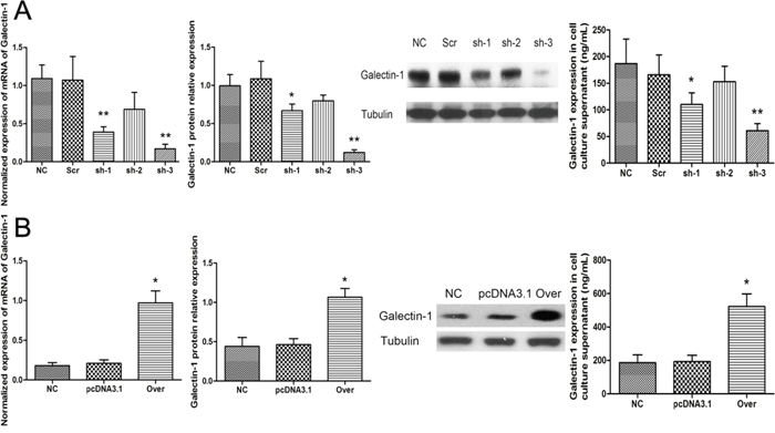 Knockdown and overexpression of galectin-1 in N-HSCs.
