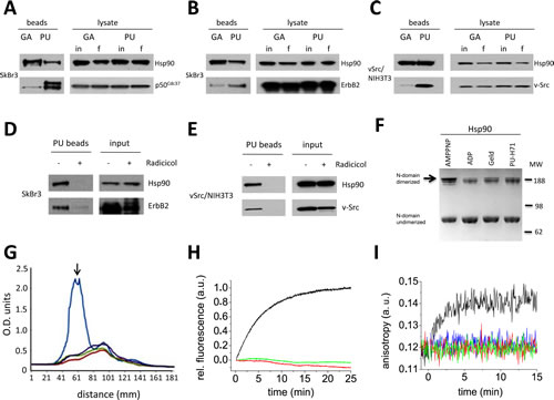 N-terminal Hsp90 inhibitors geldanamycin (GA) and PU-H71 (PU) interact with different sub-populations of N domain undimerized Hsp90.