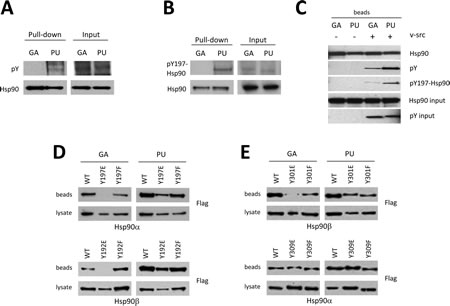 Post-translational modification of Hsp90 governs drug specificity.