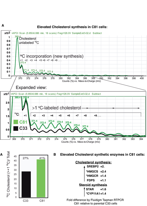 LnCaP C81 cells have elevated cholesterol synthesis.