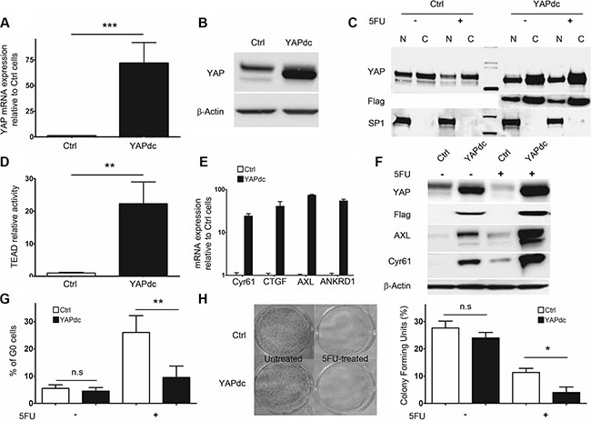 Constitutively active nuclear YAPdc restricts cellular quiescence in 5F31.