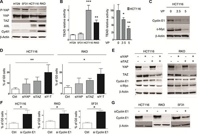 Dual knockdown of the YAP/TAZ co-activators in HCT116 and RKO cells is associated with cellular quiescence and decreased Cyclin E1 levels.