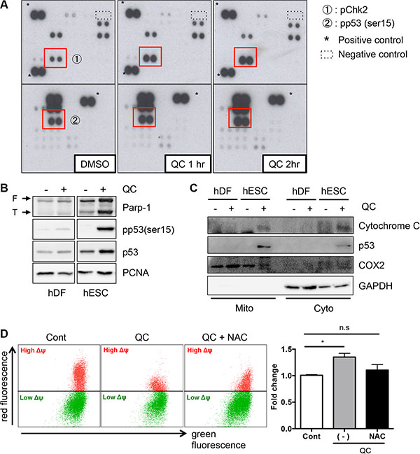 QC induces p53 mitochondrial translocation.