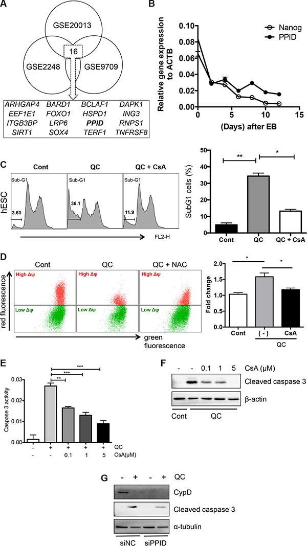 Cyclophilin D contributes to QC induced cell death of hESCs.