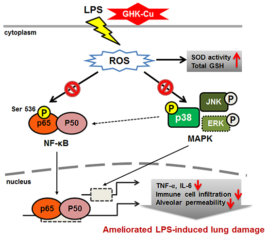 Schematic diagram showing the proposed mechanisms underlying the attenuation of LPS-induced inflammatory response by GHK-Cu.