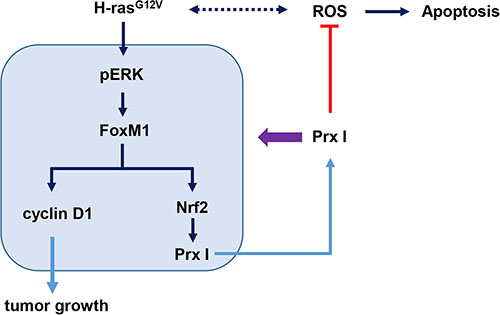 Schematic illustration of Prx I function in oncogenic Ras-induced liver tumorigenesis.