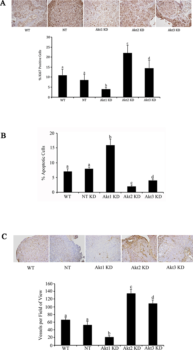 Akt isoform specific inhibition differentially affects tumor cell proliferation, apoptosis, and tumor vascularity.