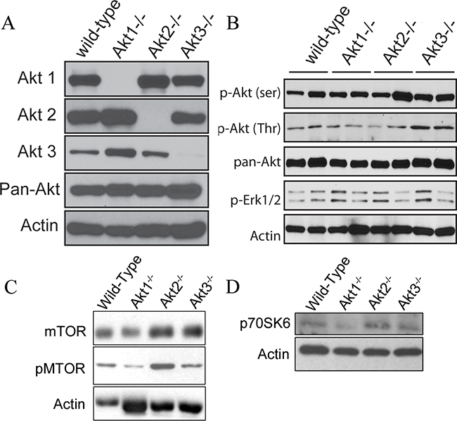 Akt signaling pathways are altered in ovarian tissue collected from WT, Akt1-, Akt2-, and Akt3-null mice.