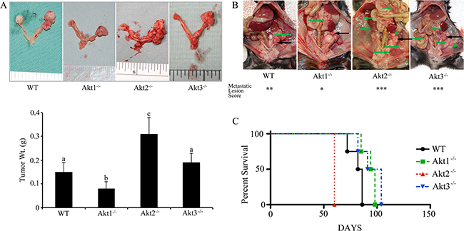 Ovarian tumors have a variable growth rate in Akt isoform deficient mice.