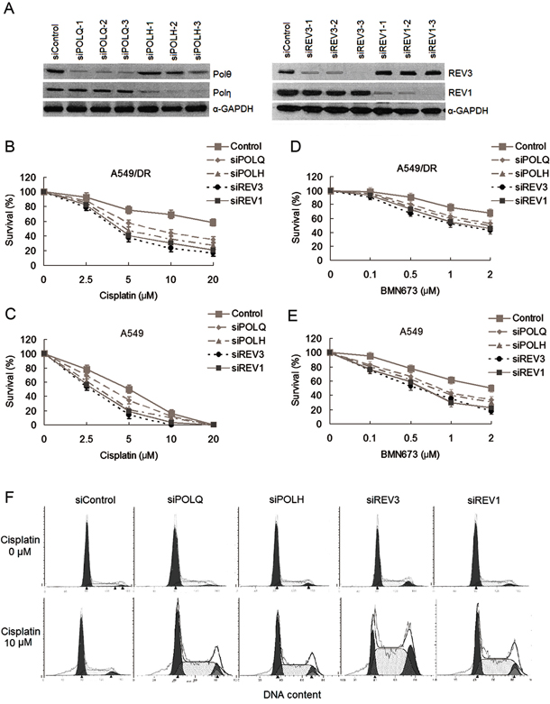 The changes of sensitivity to cisplatin and BMN673 in A549/DR cells and A549 cells after transfections of siRNAs against to TLS pathway factors.