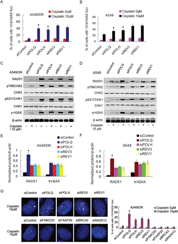 A549/DR cells depleted of POLQ, POLH, REV3 or REV1 display significant DNA damage response, and depletion of POLQ remarkably enhance RAD51 expression.