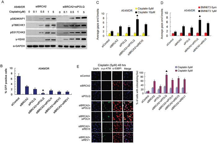 Co-depletion of BRCA2 and POLQ in A549/DR cells caused strikingly cisplatin-induced cell cycle checkpoint response, and an inhibition of HR, and increased cisplatin-induced P-ATM and 53BP1-colocalized foci.