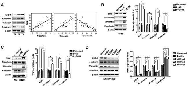 EHD1 promotes NSCLC cell invasion and metastasis by increasing EMT.