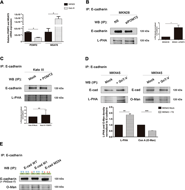 Interplay between GnT-V-mediated N-glycosylation and POMT2-mediated O-mannosylation of E-cadherin in vitro.
