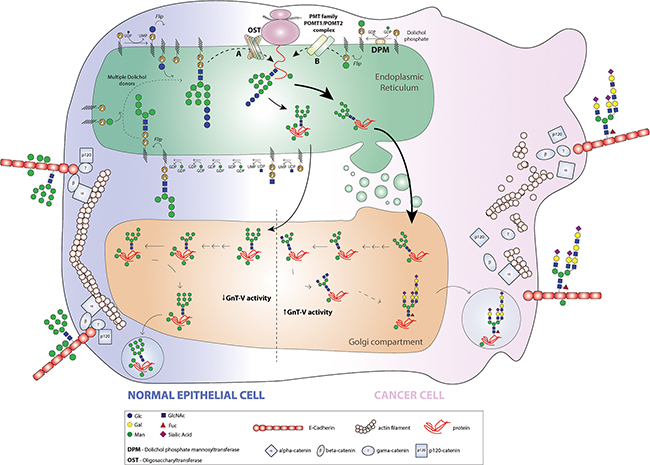 Model for the pattern of E-cadherin O-mannosylation and the interplay with GnT-V-mediated N-glycan branching in a cancer context.