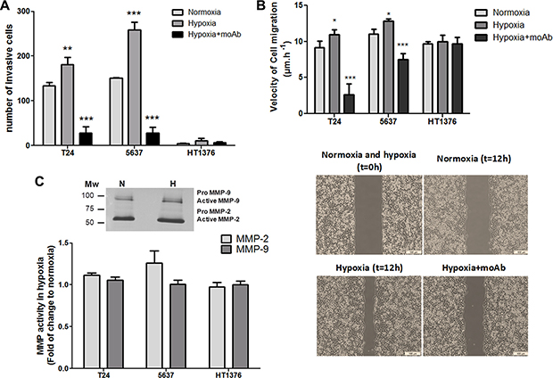 Hypoxia enhances the invasion and migration capability of bladder cancer cells in a STn-dependent manner.