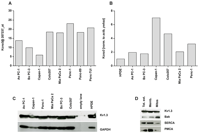 Expression of Kv1.3 potassium channel in different pancreatic ductal adenocarcinoma cell lines.