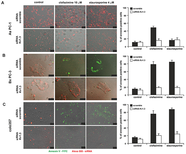 Clofazimine induces apoptosis in PDAC lines in a Kv1.3-dependent manner.