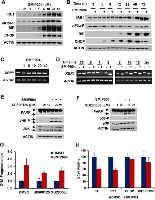 Effect of SMIP004 on the unfolded protein response (UPR).