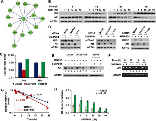 Effect of SMIP004 on androgen receptor levels.