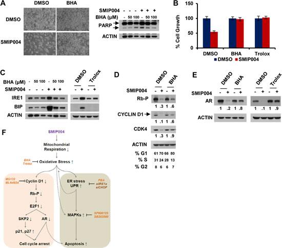 Effect of antioxidants on SMIP004-mediated cellular responses.