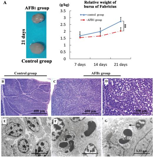The suppress of aflatoxin B1 exposure on bursa of Fabricius relative weight, histopathology and ultra-structural pathology.