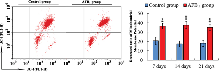 Determining mitochondrial membrane potential in bursa of Fabricius from the broilers exposed to the control and AFB1 diets.