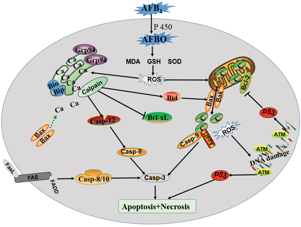 Schematic diagram of the proposed mechanisms of AFB1 induced apoptosis of BF cell.
