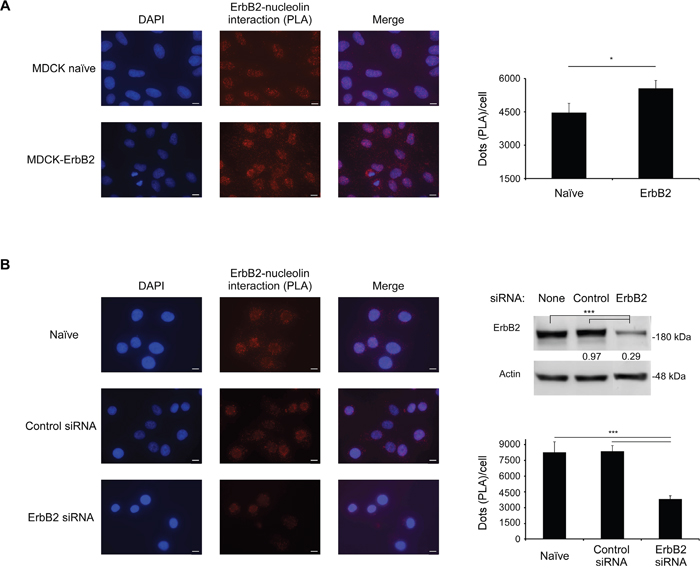ErbB2 and nucleolin interact in intact cells.